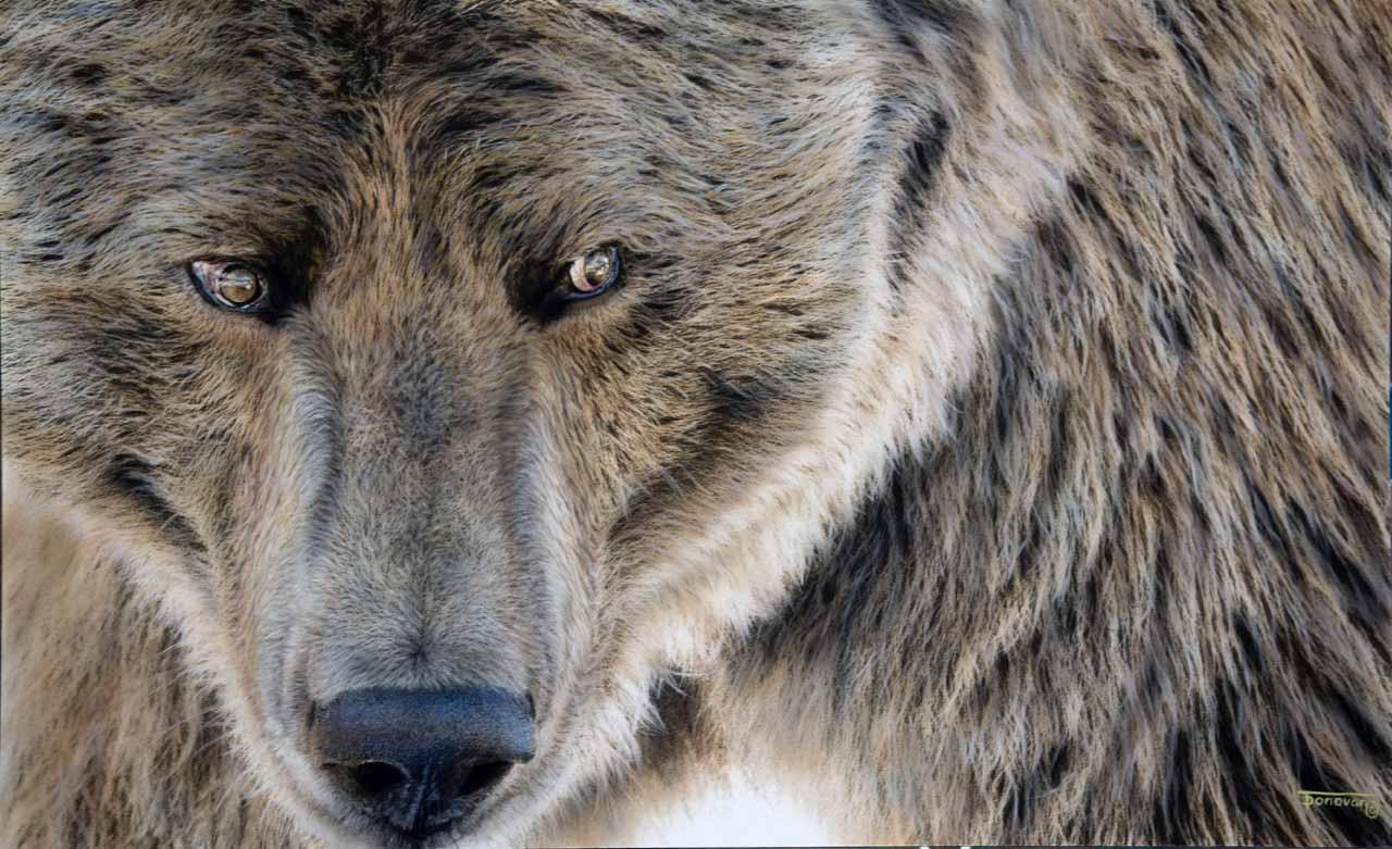 TD – Bear © Tim Donovan