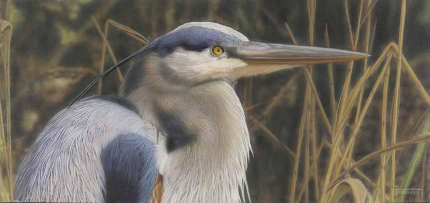 TD – Great Blue Heron © Tim Donovan