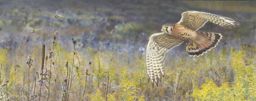 TD – On the Wing – Kestrel © Tim Donovan