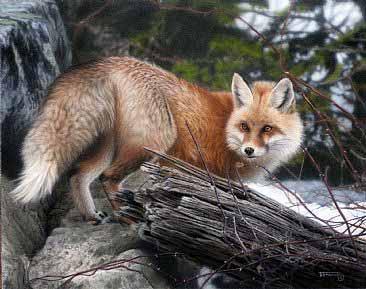 TD – Red Fox © Tim Donovan