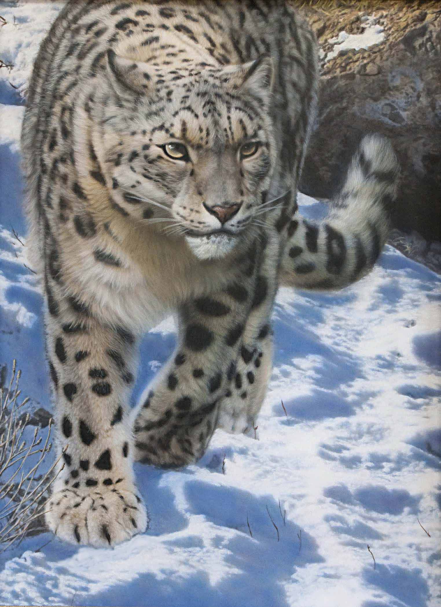 TD – Snow Leopard © Tim Donovan