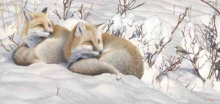 TD – The Visitor – Red Fox Pair © Tim Donovan