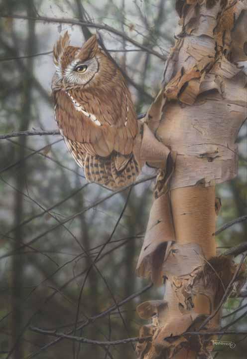 TD – Waiting for Night to Fall – Screech Owl © Tim Donovan