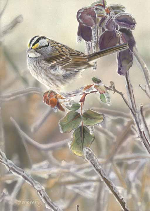 TD – Waiting for Spring – White Throated Sparrow © Tim Donovan