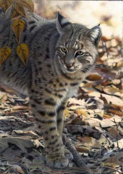 TD – Woodland Ghost – Bobcat © Tim Donovan